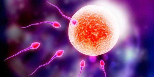 оплодотворение яйцеклеток